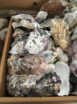 Shells - Oyster in Camp Pendleton, California