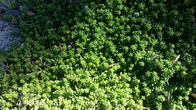 Sedum Album Green Ice variety fast growing ground cover and succulents in Camp Pendleton, California