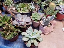 Succulents in Camp Pendleton, California