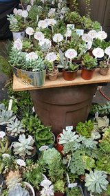 Healthy succulents,ground cover,society garlic plants at low prices in Camp Pendleton, California