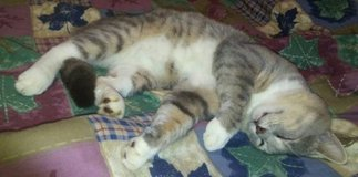 Gray Tabby Male Cat with 4 White Socks and Tummy in Fort Campbell, Kentucky