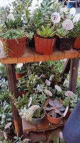 Beautiful variety of Succulents at low prices in Camp Pendleton, California