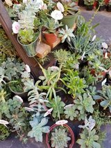 Succulents and arrangements at lower prices in Camp Pendleton, California