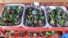 "2"" succulents for sale and other sizes open on Sundays too in Camp Pendleton, California"