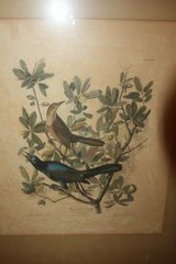 Antique 1937 Audubon Print Boat Tailed Grackle in Spring, Texas