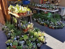 Nice variety of healthy succulents and Society Garlic in Oceanside, California