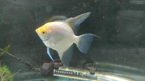 Large Adult Gold Angelfish in Orland Park, Illinois