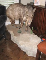 BEAUTIFUL Javelina Full Body Mount in Chicago, Illinois