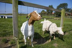 GOAT HOOVES TRIMMING needed- hello, i have 5 goats that need trimming. in Fort Lewis, Washington
