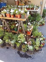 Lower than retail succulents,Society Garlic and Iris plants in Camp Pendleton, California