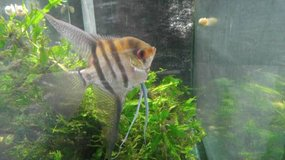 Large Adult Longfin Silver Angelfish in Orland Park, Illinois