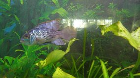 Electric Blue Acara in Orland Park, Illinois