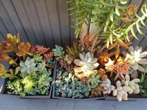 Open every day from 9am-5:30pm.Low priced variety of succulents in Oceanside, California
