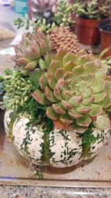 Succulents for your pumpkins and yard designs at low prices in Oceanside, California