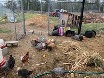 Hens or Roosters- 4 breeds to choose from, you can pick your chickens in Fort Lewis, Washington