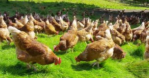 Farm Fresh Eggs- $ 4.00 per dozen. Free-range, Singing Chickens, No ho in Fort Lewis, Washington
