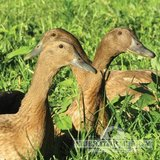 Looking for khaki campbell ducks, females preferably - $10 (14062 yelm in Fort Lewis, Washington