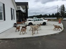 GOATS FOR SALE - bring truck with canopy in Fort Lewis, Washington