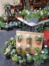 Healthy succulents,arrangements and drought tolerant plants at lower p in Camp Pendleton, California