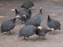 8 guineas for sale, fully-grown adults, feathers clipped in Fort Lewis, Washington