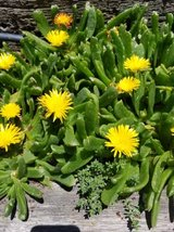 South African tongue plants in Camp Pendleton, California