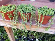 """String of Pearls in a 4"""" containers in Camp Pendleton, California"""